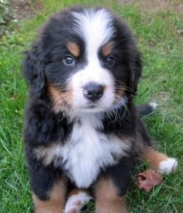 Bernese mountain dog puppy, Shannon Kilbourne